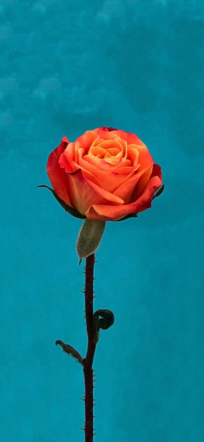 ioswall-rose